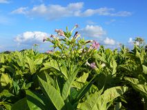 Tobacco plantation. And cloudy sky; flowers and leaves tobacco; Nicotiana tabacum; harvest time; tobacco texture stock images