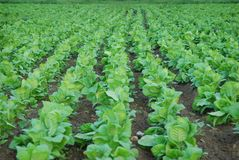 Tobacco plantation Royalty Free Stock Photo