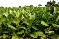 Tobacco plantation Royalty Free Stock Photos