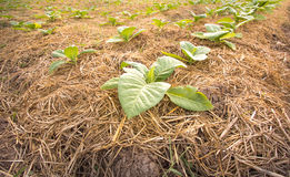 Tobacco plantation. Acres of tobacco farmers in Thailand Stock Photos
