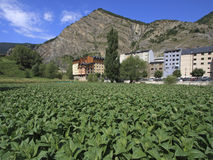 Tobacco plantation in Andorra Royalty Free Stock Image