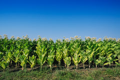 Tobacco plantation Royalty Free Stock Image