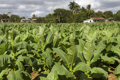 Tobacco plantation on Cuba Stock Images