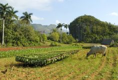 Tobacco plantation in Cuba Royalty Free Stock Images