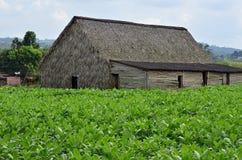 A tobacco plantation on Cuba Stock Photos