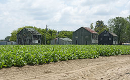 Tobacco plantation Stock Images