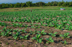 Tobacco plantation in Thailand Royalty Free Stock Photo
