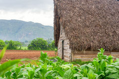 Tobacco plantation and tobacco curing barn in Cuba Royalty Free Stock Photo