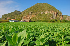 Tobacco plantation in Vinales, Cuba. Focus in on the front row. Tobacco plantation in Vinales, Cuba with a factory house and large mountain in the background Stock Photo