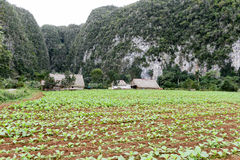 Tobacco plantation in the Vinales valley Royalty Free Stock Image
