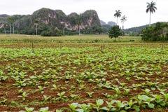 Tobacco plantation in the Vinales valley Stock Photos