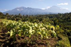 Tobacco plantations. In the area of Tetebatu, Lombok, Indonesia Stock Images
