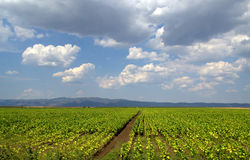 Tobacco plantations and rain clouds Stock Photo