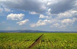 Tobacco plantations and rain clouds Stock Photo