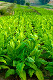Tobacco plants Royalty Free Stock Image