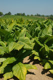 Tobacco Plants. The tobacco plants stand 4 feet tall and trail in rows for miles into the distant hills on the farms of Kentucky, USA stock photos