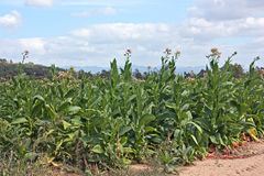 Tobacco plants Royalty Free Stock Photos