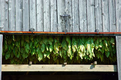 Tobacco Plants. Tobacco leaves hang in the barn to dry after harvesting in Kentucky USA stock photos
