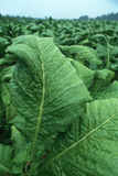 Tobacco Plants. Close-up of green tobacco plant Royalty Free Stock Photography