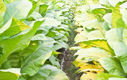 Tobacco plants Royalty Free Stock Images
