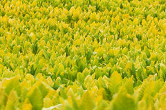 Tobacco plants. Field of tobacco plants in a farm in Kentucky Stock Photos