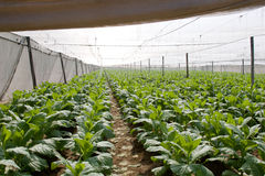 Tobacco plants. Tobacco growing under white shade tent covering plants will be used to wrap cigars Stock Photo