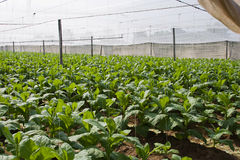 Tobacco plants. Tobacco growing under white shade tent covering plants will be used to wrap cigars Royalty Free Stock Photo