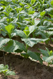 Tobacco plants Stock Photo