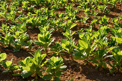 Tobacco plants. In Vinales, Cuba, known as the best tobacco for the famous Cuban cigars Stock Photos