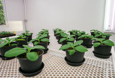 Tobacco plants for disease testing. Stock Photography