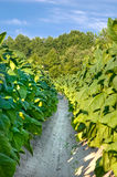 Tobacco plants in field stock photography