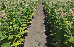 Tobacco plants in field Stock Photos