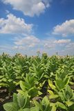 Tobacco plants in field royalty free stock photo