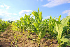 Tobacco Plants. Stock Photography