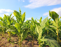 Tobacco Plants. Stock Images