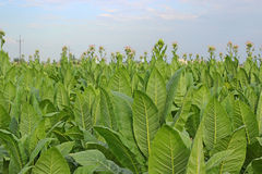 Tobacco Plants Stock Photography