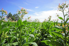Tobacco Plants Stock Image