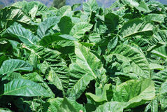 Tobacco plants with large green leaves Royalty Free Stock Image