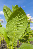 Tobacco plants with large leaves. Royalty Free Stock Photo