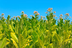 Tobacco plants with leaves, flowers and buds Royalty Free Stock Image