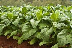 Tobacco Plants Stock Photography
