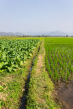 Tobacco Plants, Rice Field And Corn Royalty Free Stock Photos