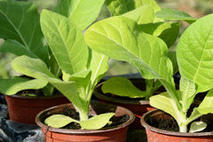 Tobacco plants, tabacum nicotinana in pots Stock Photography