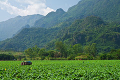 Tobacco plating in northern Thailand Royalty Free Stock Image