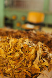 Tobacco prepared for production Royalty Free Stock Photography