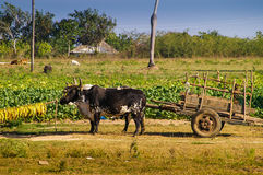 Tobacco production in Cuba Royalty Free Stock Images