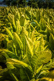 Tobacco ready for harvest in rural Lancaster County PA Stock Photography