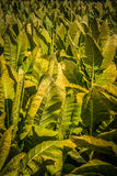 Tobacco ready for harvest in rural Lancaster PA Stock Images