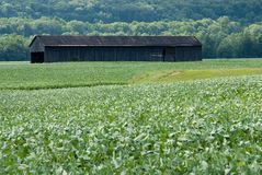 Tobacco Shed In a Field Of Crops. Old tobacco shed standing in a field of soybeans Royalty Free Stock Image