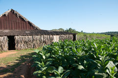 Tobacco shed by tobacco field in Cuban countryside Royalty Free Stock Images